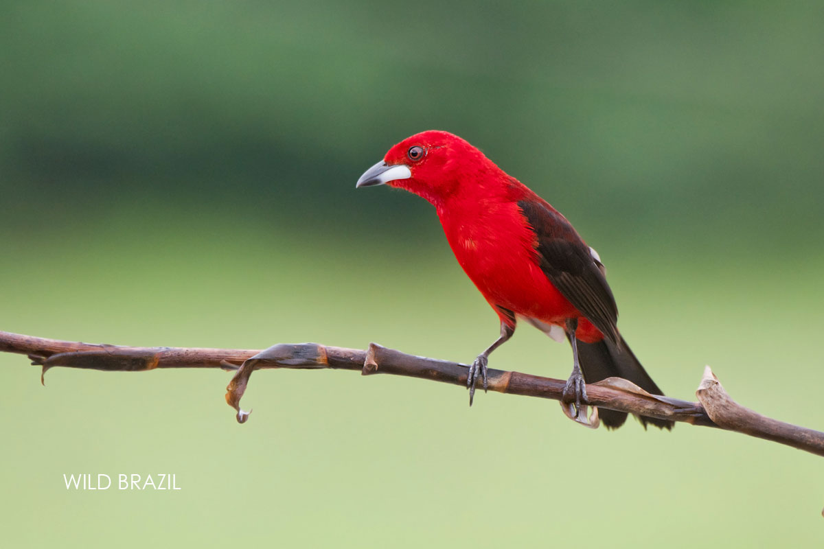 brazilian tanager - tie sangue