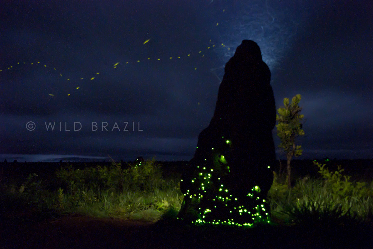 bioluminescent termite nest