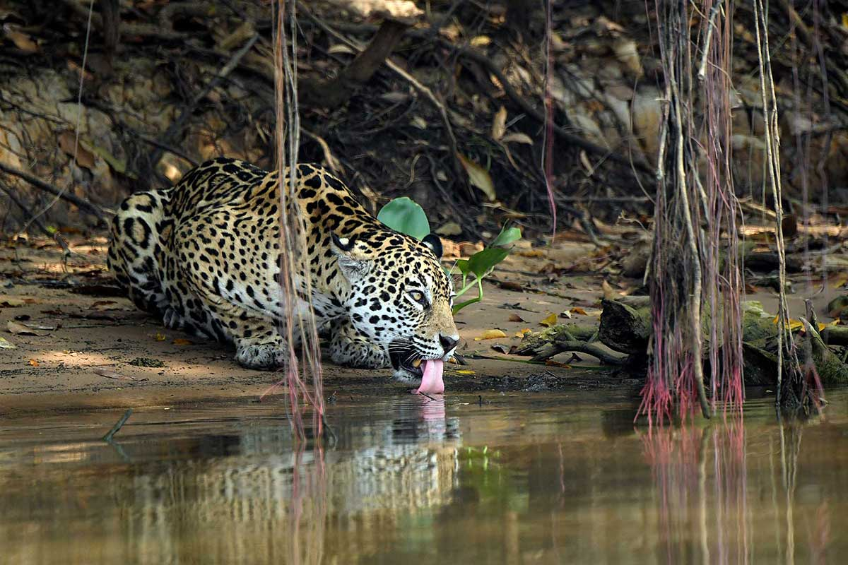 pantanal safaris