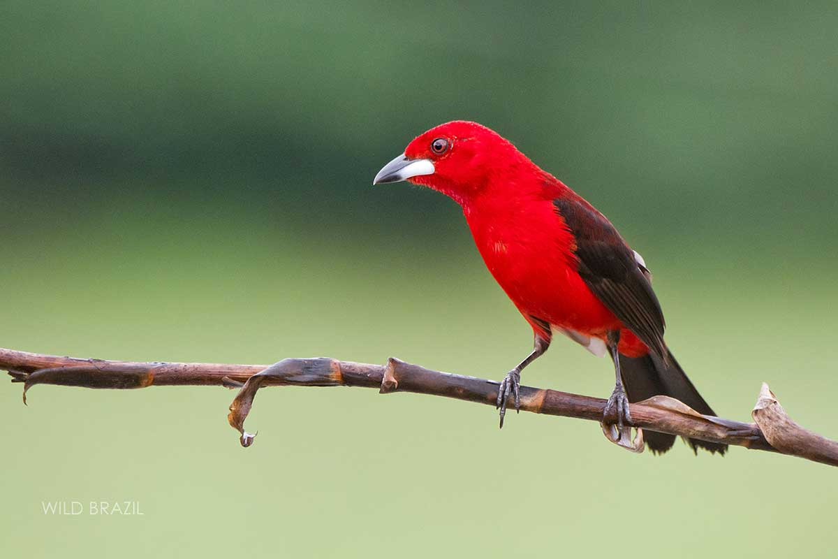atlantic forest birding